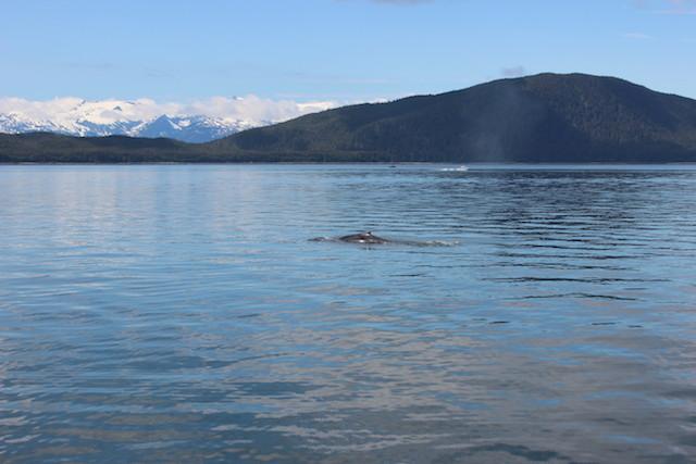1 juneau alaskan cruise humpback whale hump back