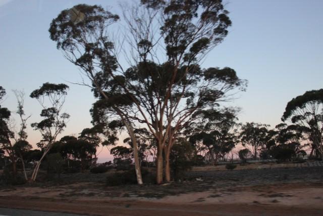 kalgoorlie australia outback tree